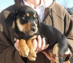 Adopt Ziggy On Petfinder Rottweiler Lab Mixes Animals