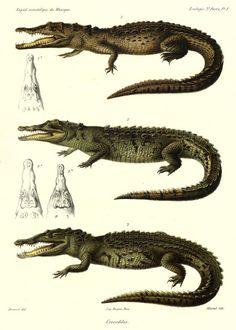 Crocodile   Musée des Confluences