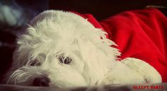 A sweet Maltese Bichon in a Santa suit is trying to catch some sleep in between delivering Christmas gifts. This is one of our most Popular Holiday Greeting card images.