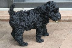 Kerry Blue Terrier, without the gross facial hair. Doesn't shed much.