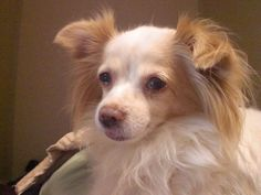 Lady Leah is a beautiful purebred long haired white and tan chihuahua whose owners surrendered her to a shelter, but we do not know the reason.  She was so scared there and sad.  Dogs left by their owners suffer so terribly in shelters, they have no...