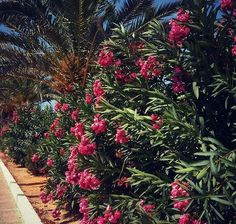 End of #summer...??? No...  #palma #palms #leaf #flower #flowers #pink #bush #plants #Mallorca #spain #españa #be_one_spain #island #travel #travelgram #trip #nature #lovenature #traveling #sightseeing #wander #wanderlust #photo #pic #way #discovering