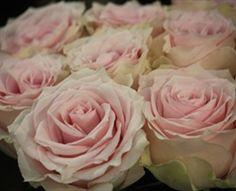 Remembrance - Standard Rose - Roses - Flowers by category Pink Flower Names, Blush Pink Wedding Flowers, Blush Pink Weddings, Pink Flowers, Types Of Flowers, Large Flowers, Rose Varieties, Rose Stem, Landscaping Plants
