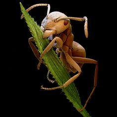 """""""The pictures I'm most pleased with are the close-up portraits of insects that show the intricate details of their eyes, mandibles and even the hairs on their heads,"""" said Tom    A brown ant biting a blade of grass"""