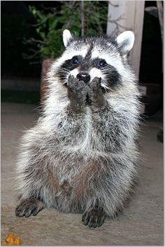 raccoon - hehe