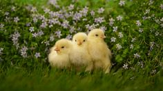 Cute Chicken Baby Chicks[1920x1080] Need #iPhone #6S #Plus #Wallpaper/ #Background for #IPhone6SPlus? Follow iPhone 6S Plus 3Wallpapers/ #Backgrounds Must to Have http://ift.tt/1SfrOMr