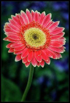 Daisy Photograph - Orange Sunshine by Robert Fawcett Gerbera Flower, Gerber Daisies, Flower Photos, Beautiful Gardens, Flower Power, Planting Flowers, Beautiful Flowers, Cool Pictures, Daisy