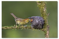Foster parent in different bird species.  An oriental cuckoo being raised by a red-headed tree babbler.    Though different in size & appearence, it does the best.