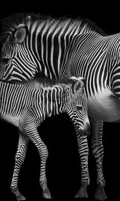 Zebra baby and mother isolated on a black background.  Very pretty!