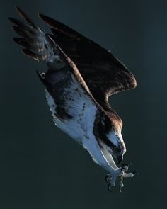 Osprey, by Wilson chen. Beautiful Photos Of Nature, Beautiful Nature Wallpaper, Nature Images, Nature Photos, Eagle Images, Character Poses, Aircraft Design, Landscape Pictures, Birds Of Prey