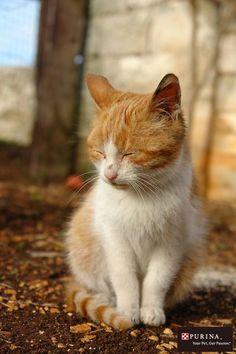 哀愁漂うニャ。。。/猫 ネコ cats  (Nestle PURINA ネスレ日本)