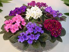 We are specialized in the geenary of african violets and located in the region called 'Het Westland' in the Netherlands. Indoor Flowers, Indoor Plants, Little Flowers, Purple Flowers, Cat Plants, Saintpaulia, Inside Plants, House Plants Decor, Container Flowers
