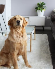 Ruggable Shag rugs, 100% Machine washable and pet friendly! #petfriendly #ruggable #shagrugs #dogs