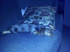 Pooped....Dorkie Puppy