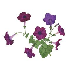 Purple Petunias Botanical Watercolor Painting by Anne Butera of My Giant Strawberry