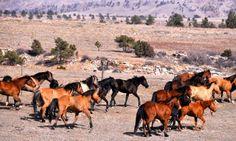 Spanish Mustang herd at the sanctuary Wild Horses Running, Hotel California, Born To Run, Majestic Horse, Wild Mustangs, Wild And Free, Pony, Moose Art, Around The Worlds