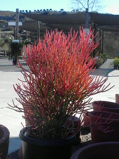 Sticks on Fire! Coral Succulent