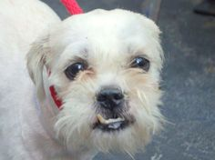 TO BE DESTROYED 4/21/14 Manhattan Center *** NEW PHOTO ***  My name is OSO. My Animal ID # is A0996745. I am a male white shih tzu mix. The shelter thinks I am about 5 YEARS old.  I came in the shelter as a STRAY on 04/15/2014 from NY 10458, owner surrender reason stated was STRAY.  https://www.facebook.com/photo.php?fbid=790471060965775&set=a.611290788883804.1073741851.152876678058553&type=3&theater
