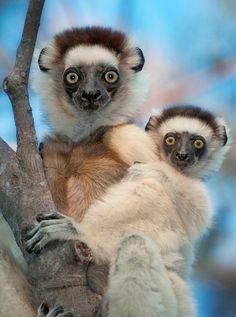Leaping lemurs by Dale Morris
