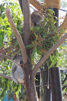 Whole Lotta Koala sleeping going on