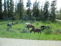 Wild horses in British Columbia.