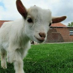 Great * Do you like T-shirt? Check the entire collection now . Click on the link in my bio (profile) * * * #goat #goatcheese #goat #goats #animal #cutegoat #funnygoat #animals #goatsofinstagram #babykids #goatloversanonymous #goatworthy #goatsmilksoap #goatee #goatmilk #goatscheese #pet #pets #goatstagram #goatsofanarchy #goatlove #goatselfie #toocute #babygoats #iheartgoats #goatsarefamily #goatlife