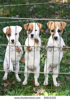 three adorable jack russell terrier puppies..ok...take me home now!