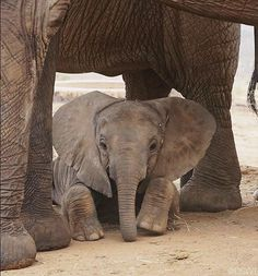Wish I was that baby elephant Elephant Family, Elephant Love, Elephant Gifts, Mother And Baby Elephant, Cute Baby Animals, Animals And Pets, Beautiful Creatures, Animals Beautiful, Save The Elephants