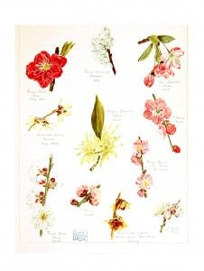 Botanical - Asian - Floral design - The garden of Japan - Educational plate