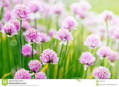 Chive Herb Flowers On Beautiful Bokeh Background Stock Photo - Image of edible, bloom: 31867770 Poster Online, Bokeh Background, Edible Flowers, Delicate, Bloom, Herbs, Stock Photos, Rose, Nature