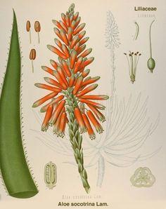 Aloe socotrina Lam.