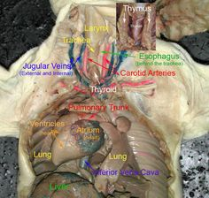 female fetal pig reproductive system ovaries uterus. Black Bedroom Furniture Sets. Home Design Ideas