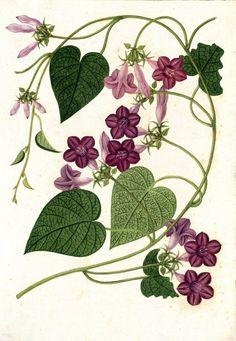 (195) Dolichos. Proyecto de digitalización de los dibujos de la Real Expedición Botánica del Nuevo Reino de Granada (1783-1816), dirigida por José Celest… | Pinterest