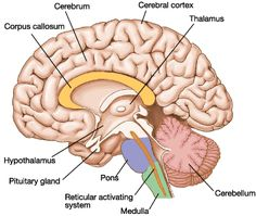 Interior internal brain labeling full hd maps locations another human brain anatomy youtube human brain anatomy brain quiz project neuron university of illinois scores view total brain structure this image shows the ccuart Image collections