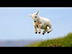Baby pygmy goat jumping - photo#27