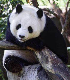 panda cuteness :*