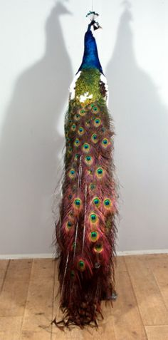 Stuffed Peacock Taxidermy | HOME OVER ONS COLLECTIE EVENEMENTEN CONTACT