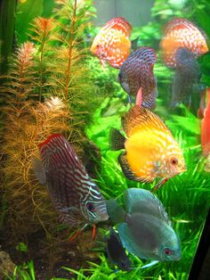 Discus, a wonderful tropical fish! Hope to own some day.