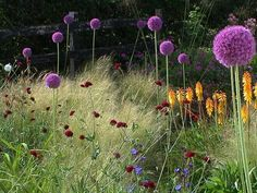 Stipa tenuissima, Alliums and Knautia Prairie Planting, Prairie Garden, Meadow Garden, Purple Flowers, Spring Flowers, Stipa, Pick And Mix, Garden Living, Delphinium