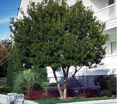 Versatile Shrub or Ornamental Tree - Great as Shrubs If a partition or screen is your objective, then Wax Myrtle performs flawlessly.  Its dense foliage and quick-growing nature lends itself to being an excellent choice for shrubs. Planted in multiples and shaped, they grow together to form a privacy hedge. Plant...