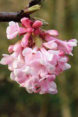 """Top flowering shrubs for winter scent in your garden / RHS Gardening. Viburnum x bodnantense """"Charles Lamont"""" AGM"""