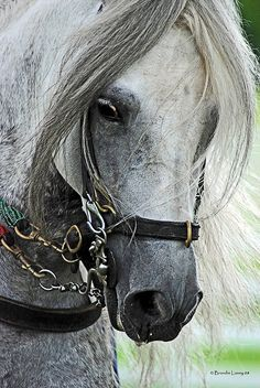 Paso Fino Stallion.....these are amazing horses to see in a competition!