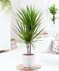 Dracena marginata  This image is a smaller version of the very common Dracena marginata. Would do well on a table, plant stand, etc. They grow fairly slowly, so if you buy it at this size, don't expect a 6 ft high plant anytime soon.