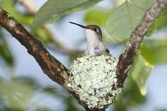 humming bird in her lichen nest