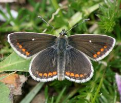 Northern Brown Argus out in Ayrshire