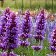 "Zone 6,7,8,9    Agastache 'Blue Boa' PPAF  Common Name: ""Hyssop""  is an amazingly showy new Agastache from Terra Nova Nurseries. The beautiful deep-violet spikes are thick, long and super showy.. Agastache perennial plants bloom all summer long in full sun and require moderate-to-dry soil."