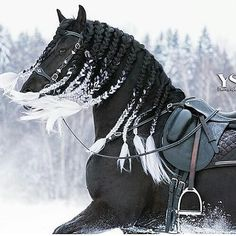 Hair tips What happened here? Black horse with braided white tipped mane. Black horse with braided white tipped mane. Pretty Animals, Animals Beautiful, Cute Animals, Beautiful Horse Pictures, Most Beautiful Horses, Beautiful Beautiful, Majestic Horse, Majestic Animals, Cute Horses