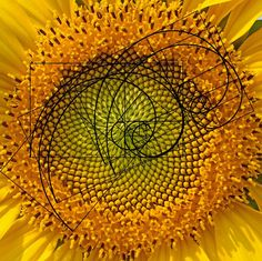 The Golden Spiral appears all over nature.