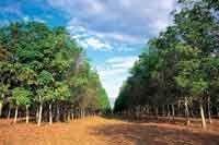 En las plantaciones de caucho se utilizan variedades especialmente adaptadas a la altillanura, que producen altos rendimientos