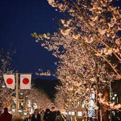 鎌倉の新しくなった段葛の桜を見に行って来ました 老朽化した桜の植え替えと歩道の舗装工事が全て完了し昨日新しくなった段葛がお披露目されたようです 歩道はすっかり綺麗に歩きやすく整備されていました新しく植えられた桜の木は若いせいか満開に満たないとは言えまだ枝の寂しい感じは否めません 年数が経つうちに華やかになって行くのでしょうね それにしても平日の夕方だというのに人の多さに驚きました 土日は大混雑間違いなさそうです  #桜#cherryblossom#夜桜#春#springhascome#spring#鎌倉#kamakura#段葛#日本#japan#日の丸#灯篭#奥行き同盟 #8000d#canon8000d#canoneos8000d#一眼レフ#一眼レフ初心者#カメラ女子#お写んぽ  by eclairxauxchocolat